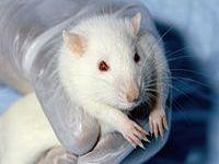 Cientistas conceituados recomendam que o Brasil proíba testes de cosméticos em animais. 20005.jpeg