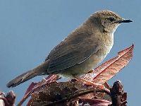 Aves do Himalaia diminuem devido à mudança no uso da terra. 35025.jpeg