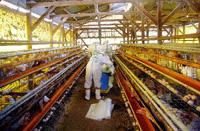 Portugueses vacinados no Reino Unido contra gripe aviária