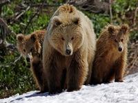 O urso pardo da Kamchatka