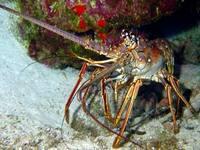 Operação do Ibama inibe pesca predatória da lagosta