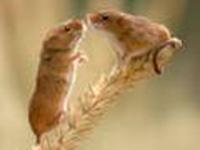 Biliões de ratos ameaçam China