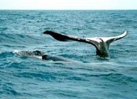 Baleia morta encontrada na na praia de Boa Viagem
