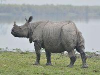 Nepal inicia censo de rinocerontes à beira da extinção. 35102.jpeg