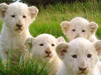 Pela 1ª vez na Grã-Bretanha nasceram leões brancos