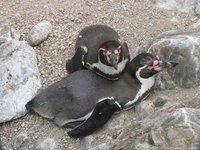 1000 Pinguins mortos no Chile