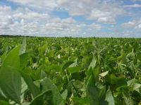 Cuba usa tecnologia da Embrapa no cultivo da soja