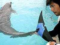 Golfinho Fuji do Japão ganhou cauda artificial