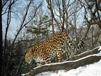 Leopardos raros nasceram em Amur