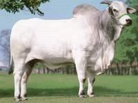 Produção da Pecuária Municipal: Crise de bovinos