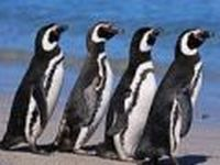 Os pinguins antárcticos invadem praias ensolaradas do Brasil