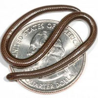 Achada a serpente mais pequena do mundo