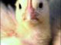 Gripe aviária: Vacina é a melhor arma