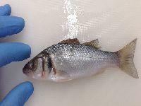 Investigação da UC contribui para a resolução de um dos maiores desafios da aquacultura. 25204.jpeg