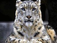 Vulnerabilidade do leopardo da neve aumenta, alerta Índia. 34237.jpeg