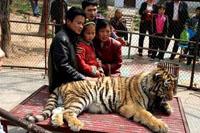 Tigre matou uma menina de 6 anos num jardim zoológico (Foto)