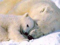 Rússia: Ursos polares em perigo de extinção