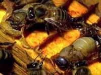 Tábua: Atacado por milhares de abelhas morreu