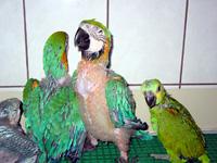 Homem acabou preso por manter em cativeiro araras e papagaios