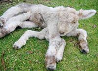 Carneiro de sete pernas nasceu na Nova Zelândia