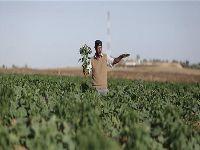 Aviões israelenses pulverizam terras agrícolas palestinas em Gaza com herbicidas tóxicos?. 28346.jpeg