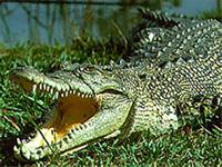 Crocodilo sobreviveu a uma queda do 12º andar(foto)