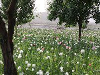 C.I.A. Fomenta Comércio de Heroína no Afeganistão. 28393.jpeg