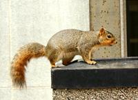 Esquilos agitando vigorosamente suas caudas se salvam das cobras