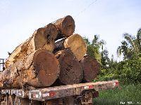 Por madeira e carne, desmatadores avançam sobre o Xingu. 29433.jpeg