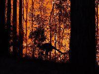 Quase 500 milhões de animais atingidos por incêndios na Austrália. 32434.jpeg