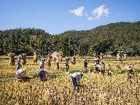Seca afeta colheita de arroz na Tailândia, segundo vendedor mundial. 31459.jpeg