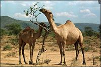 Camelo mata mulher na tentativa de ter relações sexuais com ela