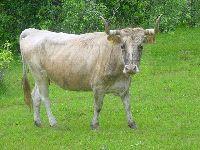 Investigadores desvendam origens do gado crioulo das Americas. 31513.jpeg