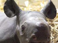 Nasce novo rinoceronte no zoológico de Berlim