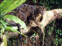 Nova espécie de Leopardos foi encontrada nas ilhas de Bornéu e Sumatra( Vídeo)
