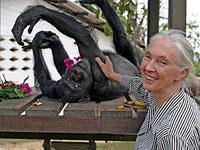 Morreu Gregoire -chimpanzé africano mais velho
