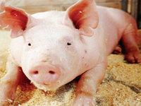 Rússia importa carne suína do Brasil