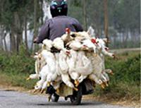 Portugal importou patos do local com gripe aviária na Inglaterra