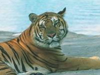 Três dias tigre deixa aflito os habitantes da quinta