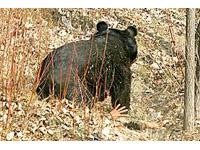 Urso-preto-asiático ataca um camponês