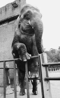 Elefante dependente de heroína  curado com um tratamento para humanos(foto)