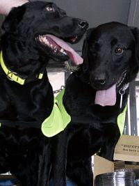 Cães farejadores demitidos por urinar e