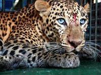Família descobriu leopardo no banheiro
