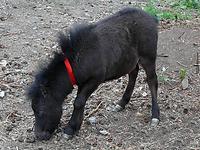 Menor cavalo no Mundo nasce na Rússia