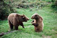 Filhotes de ursos subiram num vagão a procura de grãos