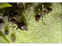 Espécie mais antiga de formiga até agora desconhecida descoberta na Amazónia