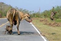 669  pit-bulls abandonados por donos em SP