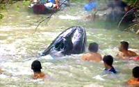 Baleia de nove metros encalhou no Rio Muriá (foto)