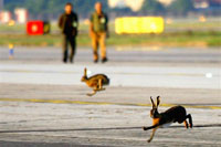 Lebres fecharam aeroporto em Milão (foto)