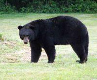 Urso-negro arranca o menino da  barraca e o mata